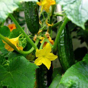 Each plant produces a dozen fruit
