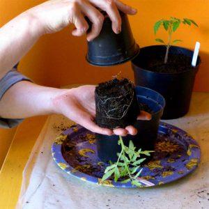 Pot up as plants grow