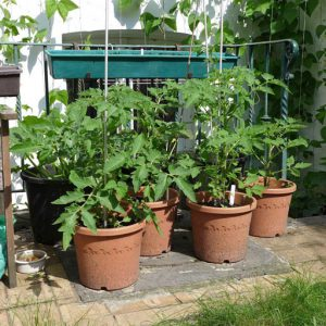 Grow on plants in larger pots