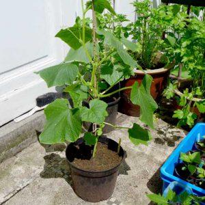 Grown on in pots