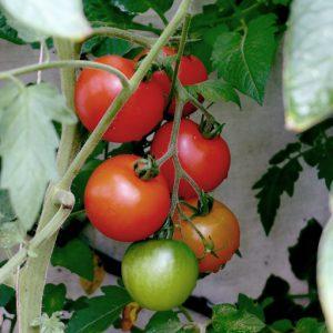 Harbinger tomato