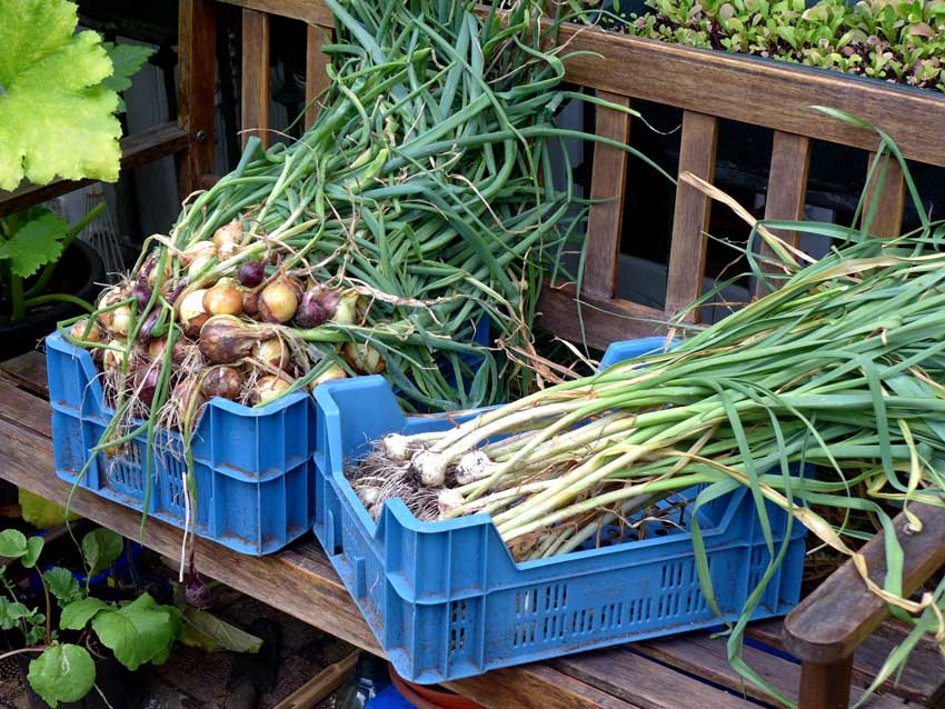 Harvesting Garlic and Onions