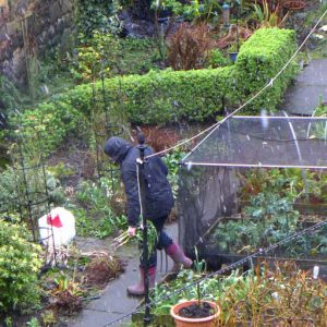 Harvesting winter leeks