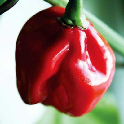 Hot Pepper Habenero