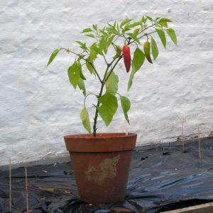 Hungarian Wax plant
