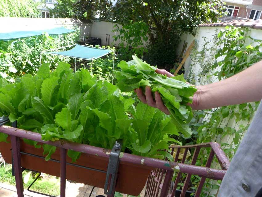 Iceberg and Crisp Mint lettuce