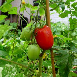 Incas Bush tomato