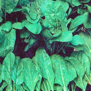 Leaf Beet Erbette