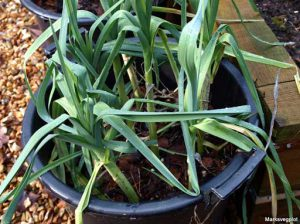 Leeks in containers