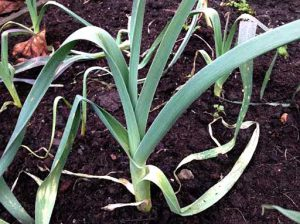 Leeks in soil beds