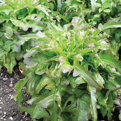 Lettuce Cocarde
