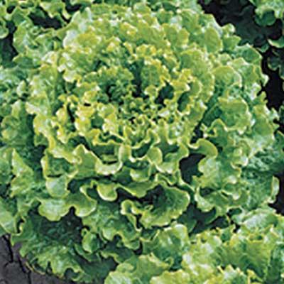 Lettuce Foglia di Quercia