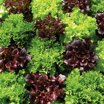 Lettuce MultiSalad
