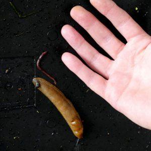 Mature slug