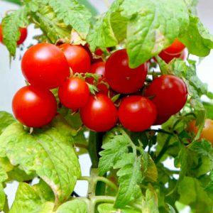 Minibell pot tomato