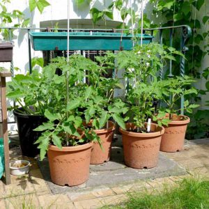 More tomatoes in pots