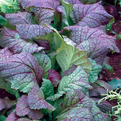 Mustard Greens Giant Red
