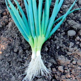 Onion Ishikura Bunching