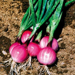 Onion Purplette