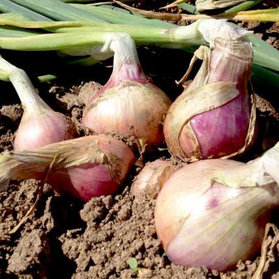Onion Sets Keravel Pink