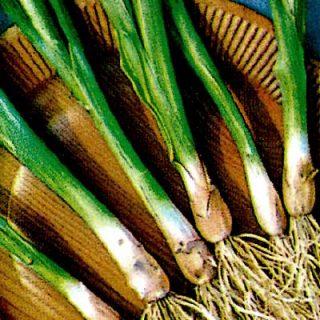 Onion Welsh