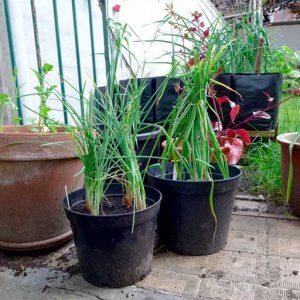 Onions in pots