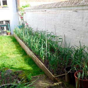 Onions in raised bed
