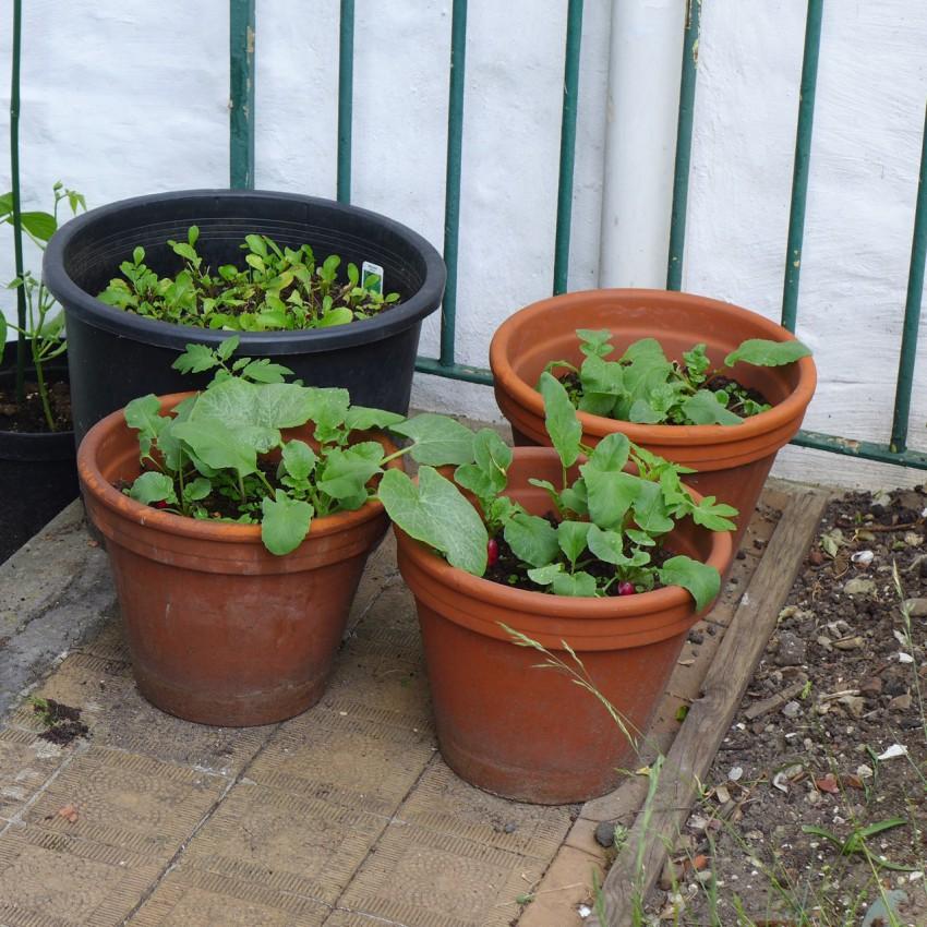 Salad in pots