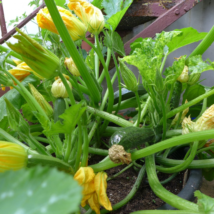 Courgettes in a large container