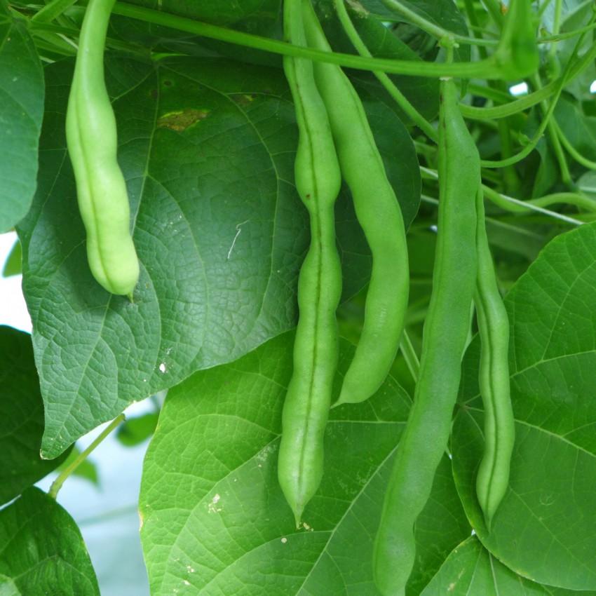 Mature beans