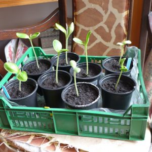 Courgette seedlings in house