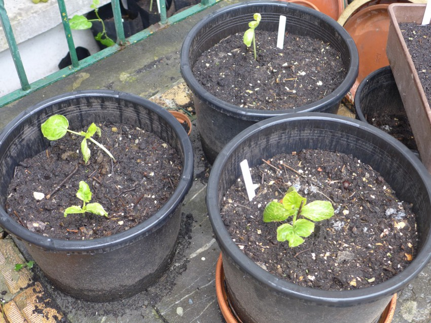 Planting out courgettes