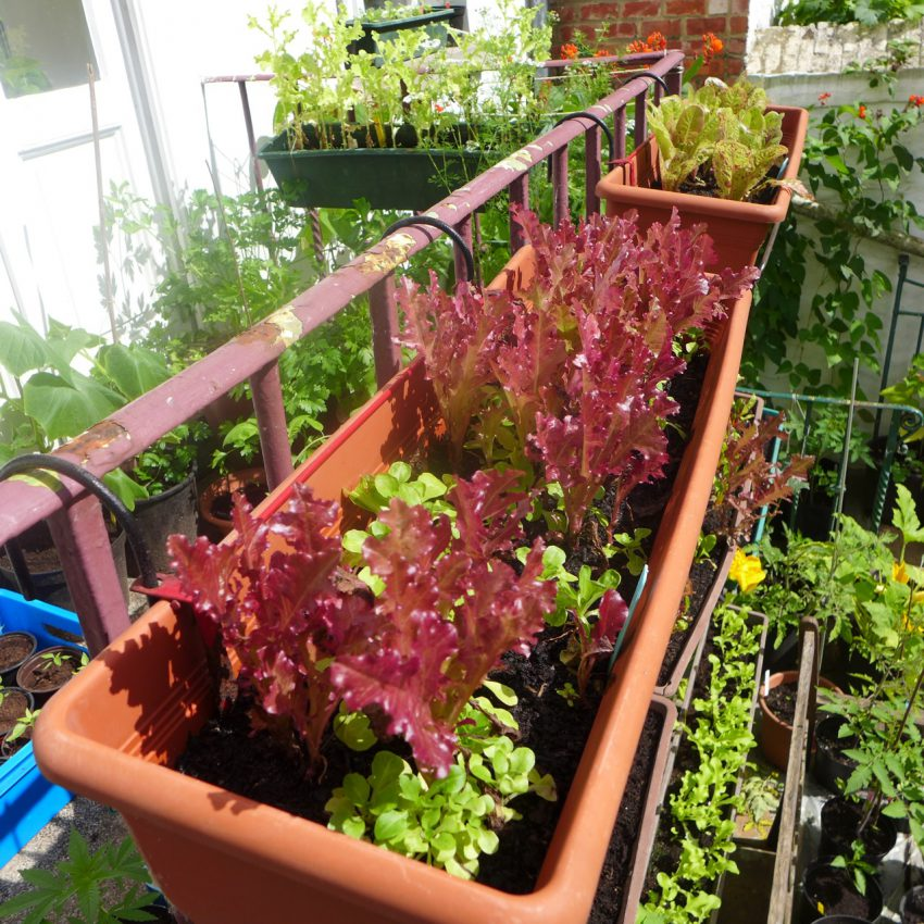 Red salad with lamb's lettuce starting