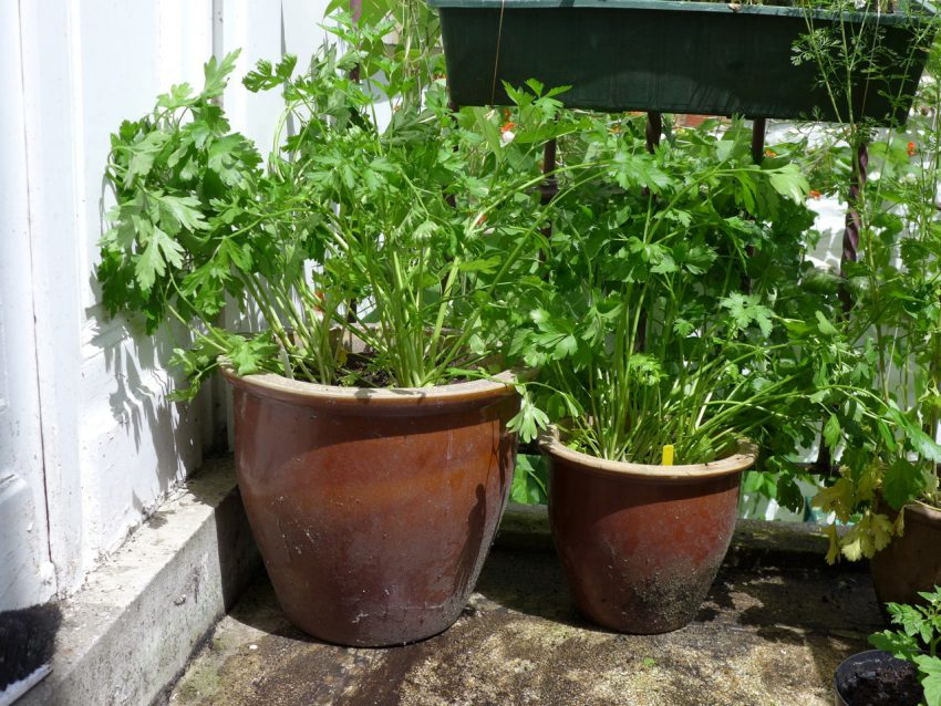 French and Italian Parsley