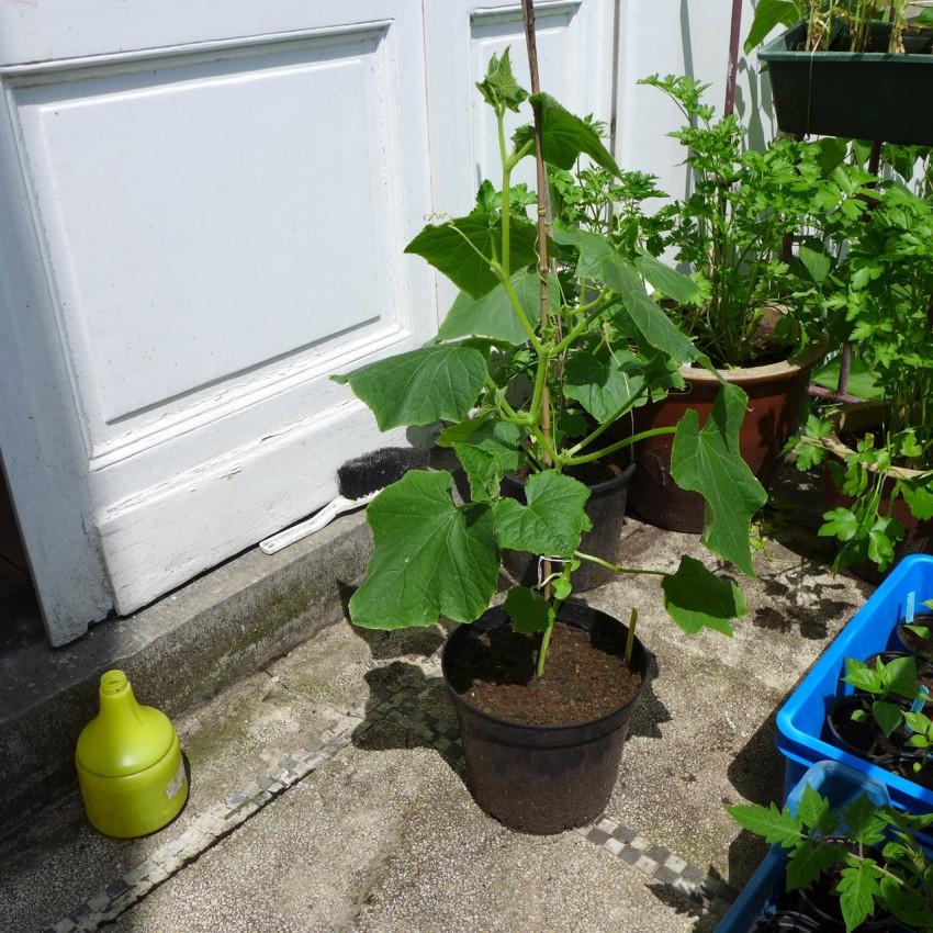 Cucumber in pot