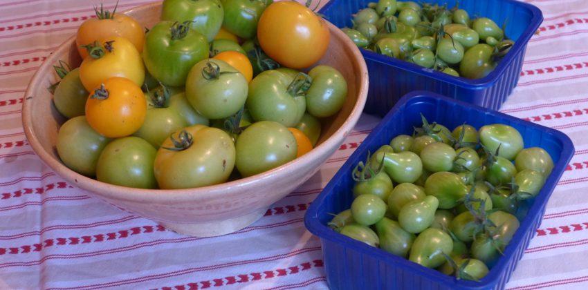 Final tomato harvest