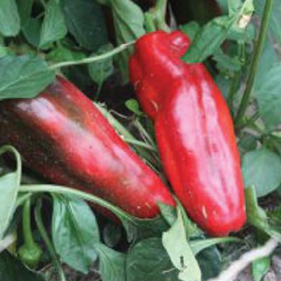 Pepper Attris