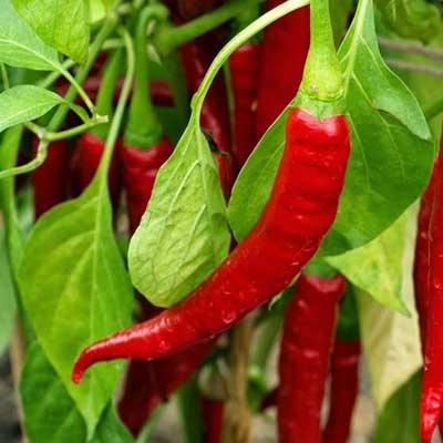 Pepper Ring of Fire