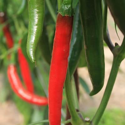 Pepper Westland Long Red