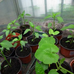 Peppers outside in cold frame
