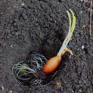 Planting in soil