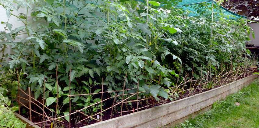 Planting winter leeks