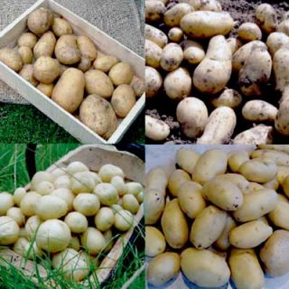 Potato Collection Waxy Salads