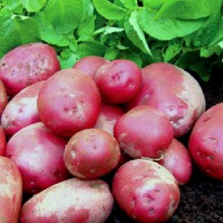 Potato Red Duke of York