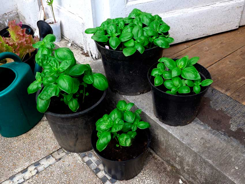 Potting up Basil