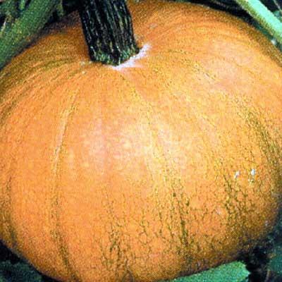 Pumpkin Small Sugar