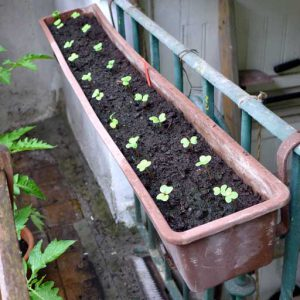 Radish in containers