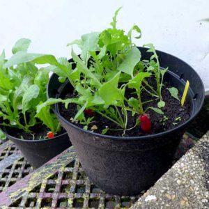 Radish in pots