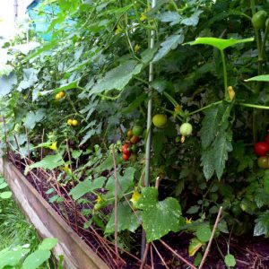 Raised bed tomatoes 2