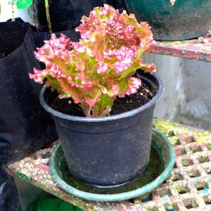 Red Fire lettuce in pot